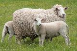500 gram gewassen lontwol - Swifter (ivoorwit)_