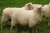 250 gram gewassen kaardvlies  - Fries en Zeeuws Melkschaap (ivoorwit)_