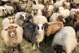 250 gram gewassen kaardvlies - Shetland (musket)_