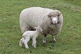 500 gram lamswol - Poll Dorset (ivoorwit)_