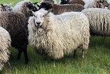 500 gram gewassen lontwol - Veenkolonist (ivoorwit)_