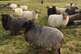 500 gram gewassen lontwol - Drents Heidesch. (bruinzwart)_