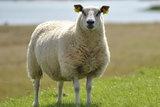 4 kilo basisklasse - Hollands boerenschaap (ivoorwit)_