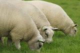 100 gram gewassen kaardvlies - Texelaar lamswol (ivoorwit)_