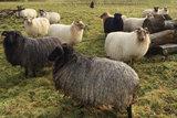 500 gram gewassen lontwol - Drents Heideschaap (grijs)_