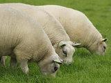 500 gram gewassen kaardvlies - Texelaar (ivoorwit)_