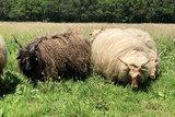 500 gram lamswol - Racka (ivoorwit)_