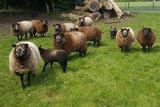 1 kilo lamswol - Blauwe Texelaar (middengrijs)_