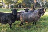 500 gram lamswol - Gotland Pelsschaap (donkergrijs)_