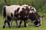 1 kilo basisklasse - Hollands boerenschaap (bont gevlekt)_