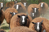 500 gram lamswol - Zwartbles (roodbruin)_