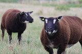 1 kilo lamswol - Dassenkop Texelaar (donker bruingrijs)_