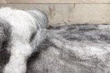 100 gram gewassen kaardvlies - Ned. Bonte Schaap (bont gevlekt)_