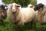 1 kilo lamswol - Schoonebeeker (naturel)_